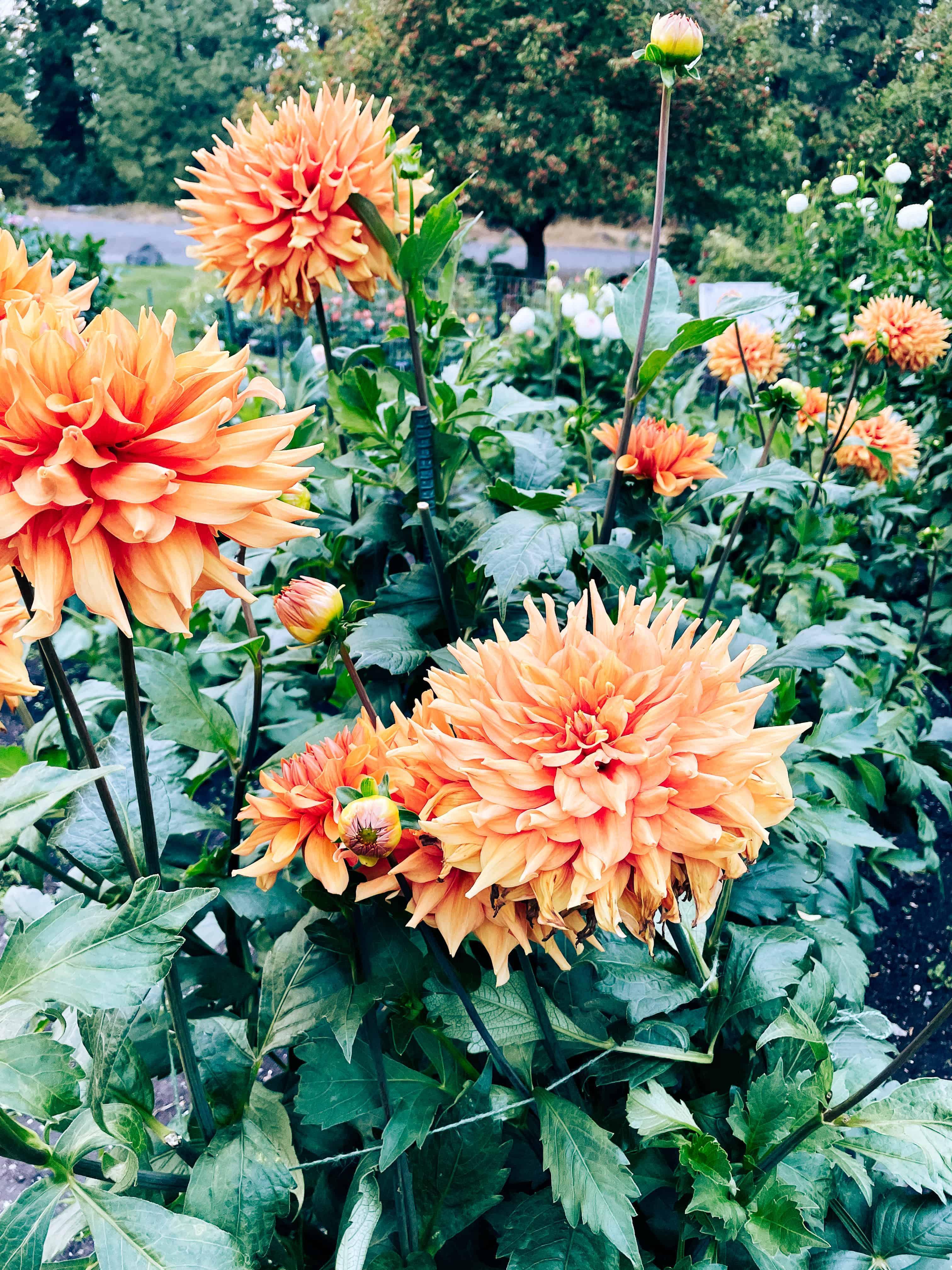 Rose Garden and Dahlias at Manito Park
